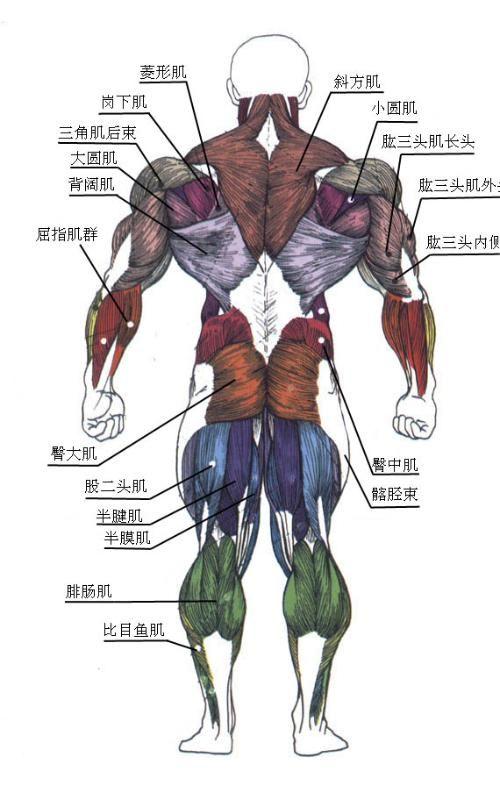 人体肌肉_有人会说,你说的不是废话么,肌肉发达了当然就有轮廓了.